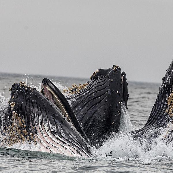 Ballenas en Panama