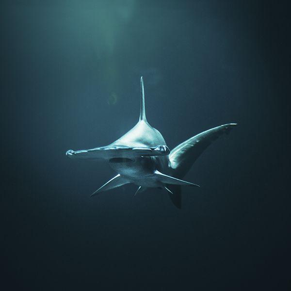 Tiburones dentro del Mar Rojo