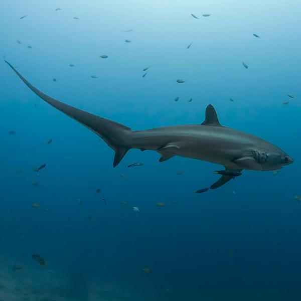 Tiburones en el Mar Rojo